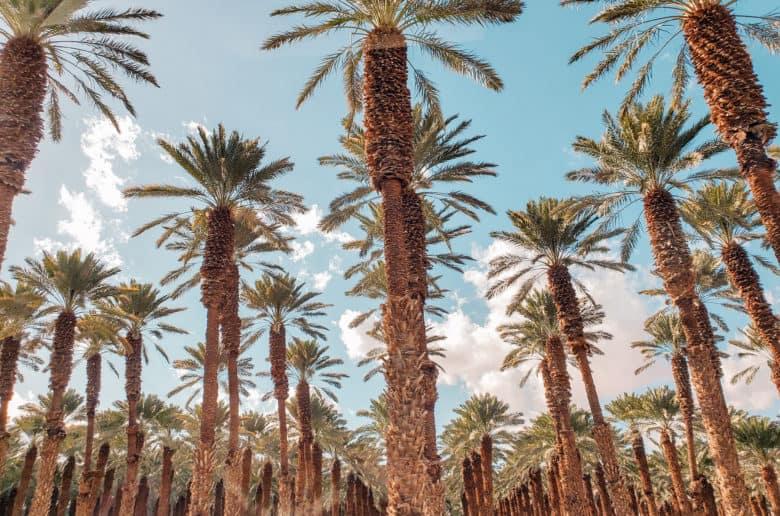 עצי הדקל בדרך לים המלח